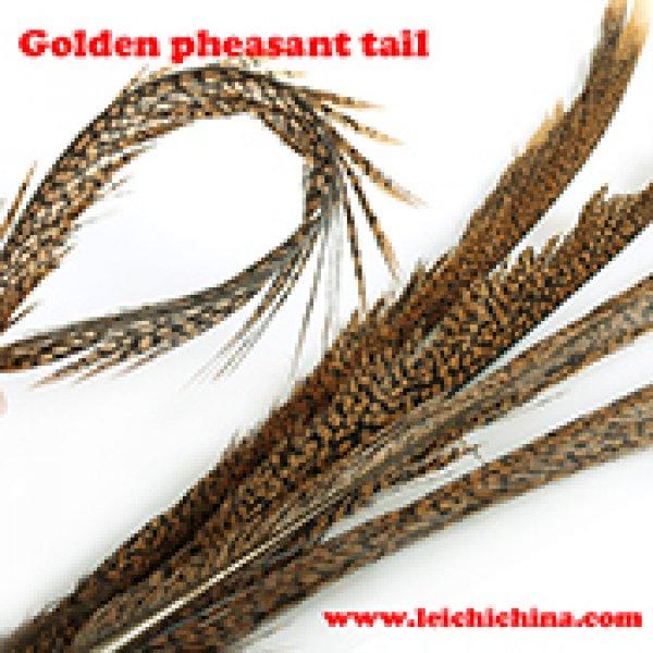 Golden pheasant tail